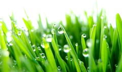 Green is Beautiful (nikoge) Tags: green plants bokeh 植物 緑 雫 grass 草 水滴 dropofwater coth color macro coth5