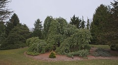 Pinus strobus 'Pendula', 2019 photo (F. D. Richards) Tags: harpercollectionofraredwarfconifers hiddenlakegardens tiptonmi hrh bedh michigan usa