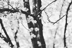 Sakura B&W (Ray Parnova) Tags: olympiapark germany munich sakura