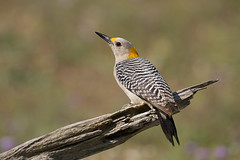 Golden-fronted Woodpecker (markvcr) Tags: woodpecker goldenfrontedwoodpecker bird nature texas wildlife specanimal coth5