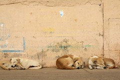 Its a dogs life. this seemed to be a favoured snoozing spot for this pack of dogs. (.stuart hamilton) Tags: varanasi india river ganges holy dog animal mammal pet love cute four row wall grafitti beige sandy dogs life snooze tired sleep awake cuddle