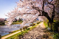 sakura '19 - cherry blossoms #9 (Kamogawa, Kyoto) (Marser) Tags: xt10 fujifilm raw lightroom japan kyoto kamogawa river flower cherry sakura cat 京都 賀茂川 桜 猫 貓
