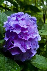 Hydrangea on blue a mood (Sal Tinoco) Tags: blue flora flower green hydrangea hydrangeas leaf nature outside petal purple