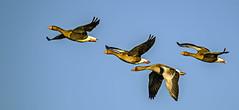 731.365-001 Greylag Geese (ianbartlett) Tags: 365 outdoor wildlife nature birds flight monochrome sea sand water dogs groynes drone landscape light colour seal
