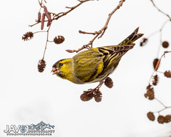 Eurasian siskin, male (Spinus spinus)-5807 (George Vittman) Tags: bird siskin yellow seed passerine nikonpassion wildlifephotography jav61photography jav61 fantasticnature