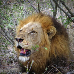 Lion King (__ PeterCH51 __) Tags: lion lionking animal wildanimal malelion krugernationalpark nationalpark mpumalanga southafrica za peterch51 krugerpark square kruegerpark