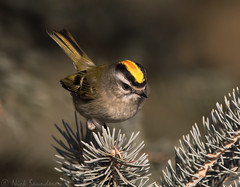 Golden-crowned Kinglet (Nick Saunders) Tags: goldencrownedkinglet kinglet winter saskatchewan canada birding bird birds nature spruce tree crest male