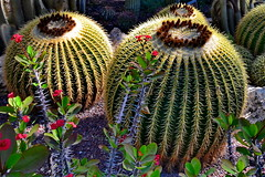 Mother in Law Chair (gerard eder) Tags: world travel reise viajes europa europe españa spain spanien alicante elche huertodelcura cactus kakteen flowers flores blumen flora outdoor park parque jardines garden green