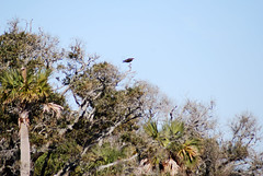 Osprey (Fido Cat) Tags: nature frippisland southcarolina birds storks woodstork herons greenheron midnightheron egret