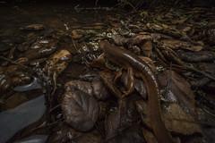 Newt Night (antonsrkn) Tags: taricha newt ca californianewt amphibian caudate salamander behavior laowa wideangle nature wildlife california night nocturnal san francisco