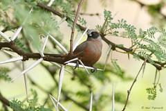Black-faced Waxbill (npaprock) Tags: southafrica africa bird estrildaerythronotos estrilda blackfacedwaxbill limpopo waxbill