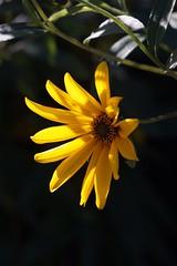 Sunflower      Boyer Paris Saphir 85 mm F 4.5 (情事針寸II) Tags: flowerscolors yellow tessar oldlens closeup fleur flower boyerparissaphir85mmf45