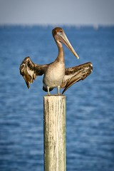Air Dried (yellocoyote) Tags: air america animal beak bird blue bright brown cedar coast dry fall fl florida groom grooming gulf key life nature ocean pelican post salt shunshine spread spring states stretch subtropical summer sun tropic tropical united usa warm water wild wildlife wing