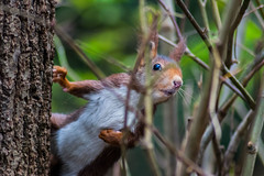Squirrel (Ruben_CG) Tags: squirrel rodent animal mammal nature cute fur wildlife brown outdoors fluffy tree tail forest closeup eating oneanimal small animalsinthewild looking