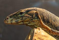 Monitor lizard (The Cuman) Tags: nikon nikond610 sigma sigma105mmf28exdgoshsm werner lizard monitorlizard reptile animal nature animalplanet