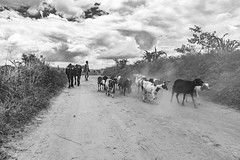 Transhumance malgache (freddappell) Tags: madagascar ampefy zebus chèvres troupeau paysan