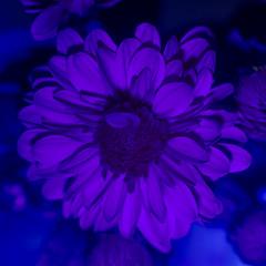 Ultraviolet Flower (adamopal) Tags: canon canon7d canon7dmkii canon7dmarkii ultravioletflower flower pollen lookingforanewshot experimental lightingexperiment experiment macro macro100mm 100mm uv ultraviolet black white purple magenta