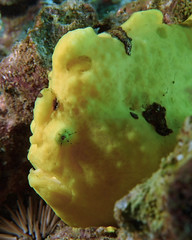 lumpy  -  Explored January 31, 2019 (BarryFackler) Tags: antennariuscommerson commersonsfrogfish giantfrogfish benthic frogfish fish acommerson zoology coralreef coral creature vertebrate biology bay being bigisland bigislanddiving konadiving barronfackler barryfackler nature marine marineecology marineecosystem marinebiology marinelife water westhawaii wildlife ecology ecosystem reef tropical undersea underwater island organism outdoor ocean sea pacificocean polynesia pacific 2018 saltwater seawater aquatic macro animal diving dive diver fauna hawaii hawaiiisland hawaiicounty honaunau hawaiidiving honaunaubay hawaiianislands kona konacoast scuba seacreature sealifecamera sandwichislands sealife southkona life explore explored inexplore