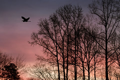 Great blue heron at sunrise. (jeanne.marie.) Tags: trees clouds blue pink purple greatblueheronardeaherodias sky sunrise flying flight bird silhouettes colorful winter layersofcolor peaceful tranquil morning