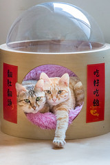 Happy Chinese New Year 欲趁新年賀太平 (Sharleen Chao) Tags: cats pets chinesenewyear chinesecouplets feline canon 5dmarkiii 70200mm nopeople kittens cute celebration taiwan taipei day tabbycats sisters 中國新年 農曆春節 寵物 貓咪 雙貓 姊妹貓 虎斑 橘貓 小虎 orange myzoo 動物緣 太空艙 寵物床 貓屋 cathouse 春聯 好味小姐春聯 2019 吃好吃飽 翻肚翻頭 お正月 猫 猫バカ 虎