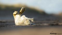 Playful Seal (Alastair Marsh Photography) Tags: greyseal greyseals greysealpup greysealpups sea seal seals beach coastline coast britishcoast britishcoastline animal animals animalsintheirlandscape wildlife britishwildlife britishanimals britishanimal britishmammals britishmammal mammal mammals mammalsociety babymammal baby pup pups sunlight sun sunshine sunset dusk