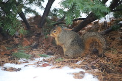 Fox Squirrels in Ann Arbor on a Wet Winter's Day at the University of Michigan - January 23rd, 2019 (cseeman) Tags: gobluesquirrels squirrels foxsquirrels easternfoxsquirrels michiganfoxsquirrels universityofmichiganfoxsquirrels annarbor michigan animal campus universityofmichigan umsquirrels01232019 winter eating peanuts januaryumsquirrel wet