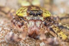 Lichen huntsman spider (Pandercetes sp.) - DSC_6296 (nickybay) Tags: pulauubin singapore macro workshop huntsman spider lichen pandercetes sparassidae