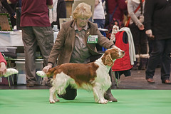 Diary_2016_038 (evinrisca) Tags: crufts welsh springer spaniel dogshow wsscsw