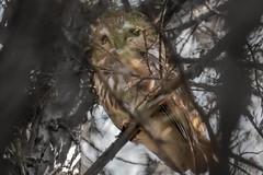 Aegolius Acadicus (Kevin E Fox) Tags: sawwhetowl owl raptor aegoliusacadicus bird birding birdwatching birds birdofprey sigma150600sport sigma newbritain pennsylvania nature nikond500 nikon