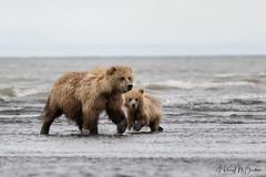 _HB31153 (Hilary Bralove) Tags: lakeclarknationalparkbrownbearsbearsalaskanikonwildlifegrizzlygrizzlybearbrownbearanimalswildlifephotographer alaksa brownbears grizzlybears bear bears grizzly brownbeargrizzly bearlake clarkwildlifealaska wildlifenikonlake clark national park