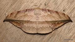 Leaf imitating Geometer moth, Oxydia sp.? (Ecuador Megadiverso) Tags: andreaskay ecuador ennominae geometermoth geometridae leafimitating moth oxydiasp wildsumaco