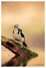 Great Spotted Woodpecker (Gertj123) Tags: bird bokeh birdwatching nature netherlands arjantroost avian animal hide holterberg