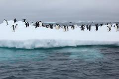 IMG_3820 (y.awanohara) Tags: adelie adeliepenguins penguins antarctica antarcticpeninsula wildlife january2019 icebergs ice icefloes
