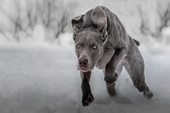 Boo's Evening Run (Neil_Wagner) Tags: weimaraner snow dog action running evening beautiful cute