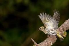 Siskin in flight (Dan Baillie) Tags: bird gardenbird birdwatching nature scotland wigtownshire feathers birding
