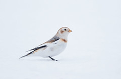 Snow Bunting MI _E1U8849 Jan 2019 (www.sabrewingtours.com) Tags: white snow michigan north up bunting bird passerine sabrewing nature tours snt brian zwiebel bz photo tour upper peninsula