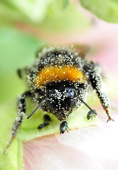 Hummel und Käfer / Bumblebee with bugs (uwe125) Tags: goliath und david stockrose blüte pollen grösenvergleich käfer hummel insekten tiere macro bumblebee