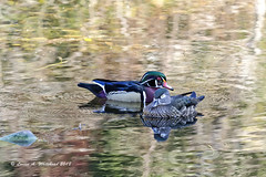 031019 Sunday Chillin' (wildcatlou) Tags: march earlyspring nature pond water wildlife duck ducks woodducks reflections riparian mcleancreekpark