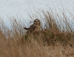IMG_9956 (monika.carrie) Tags: monikacarrie wildlife seo shortearedowl forvie scotland owl