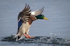 Mallard Drake (Kevin James54) Tags: anasplatyrhynchos carolinabeach carolinabeachlake mallard nikond850 tamron150600mm wilmington animals avian bird duck kevingianniniphotocom