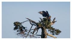 mating season (marneejill) Tags: bald eagles pair mating french creek