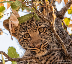 Up a Tree (Darren Barnes Photography) Tags: up tree upatree leopard cat dwoodphotography dwoodphotographycom wildlife fauna spot spots spotted south africa southafrica 2018 green yellow brown whiskers