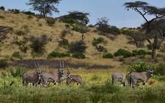 Kenya 6 (orientalizing) Tags: wild featured beisaoryx buffalospringsreserve trees desktop landscape kenya mammals samburuterritories