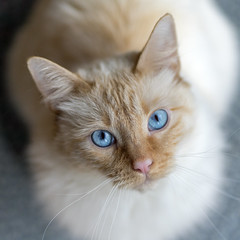 Deep Blue Pools (vtom61) Tags: cat cute flamepointsiamese redpointsiamese blueeyes sonya7riii bokeh sonyfe85mmf18