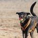 Schwarzer Hund am Strand mit Tennisball im Maul und Sand auf der Nase