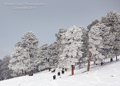 The Road Home (Bridget Calip - Alluring Images) Tags: 2019 alluringimagescolorado bridgetcalip buffalo colorado jeffersoncounty winter allrightsreserved bison cold coniferioustrees copyrighted elk fog freezing frostytrees genesee heard lowvisibility overlook snow snowcovered