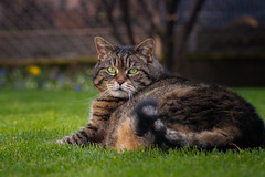 Am I looking slim from this angle ? (FocusPocus Photography) Tags: cleo katze cat gras grass rasen lawn garten garden haustier pet tabby getigert tier animal