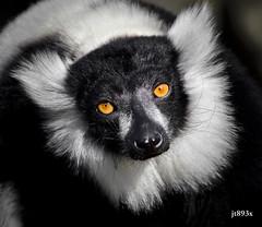 Black-and-white Ruffed Lemur (jt893x) Tags: 150600mm blackandwhiteruffedlemur d500 jt893x lemur nikon nikond500 portrait ruffedlemur sigma sigma150600mmf563dgoshsms vareciavariegata primate thesunshinegroup alittlebeauty coth coth5