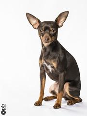Ooligan 1 an (Philippe Bélaz) Tags: ooligan pragois ratierdeprague animal animaux animauxdecompagnie anniversaire anniversaires chiens lumièresartificielles portraitsanimalier studio