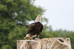 IMG_1438 (Stefan Kusinski) Tags: hemsley duncombe ncbp birdofprey